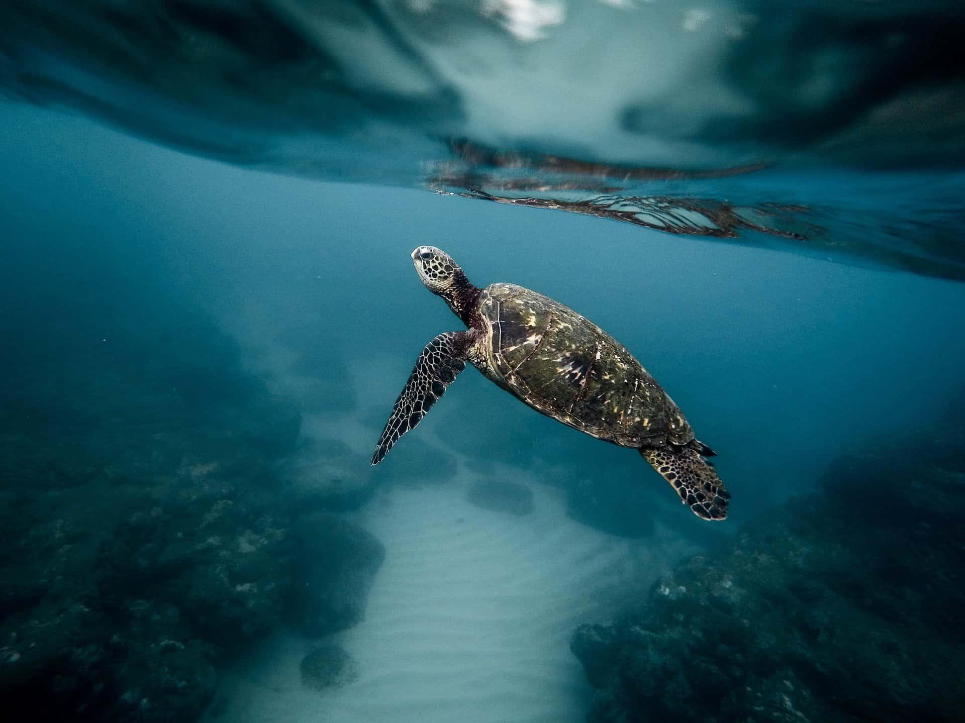snorkeling oahu turtles