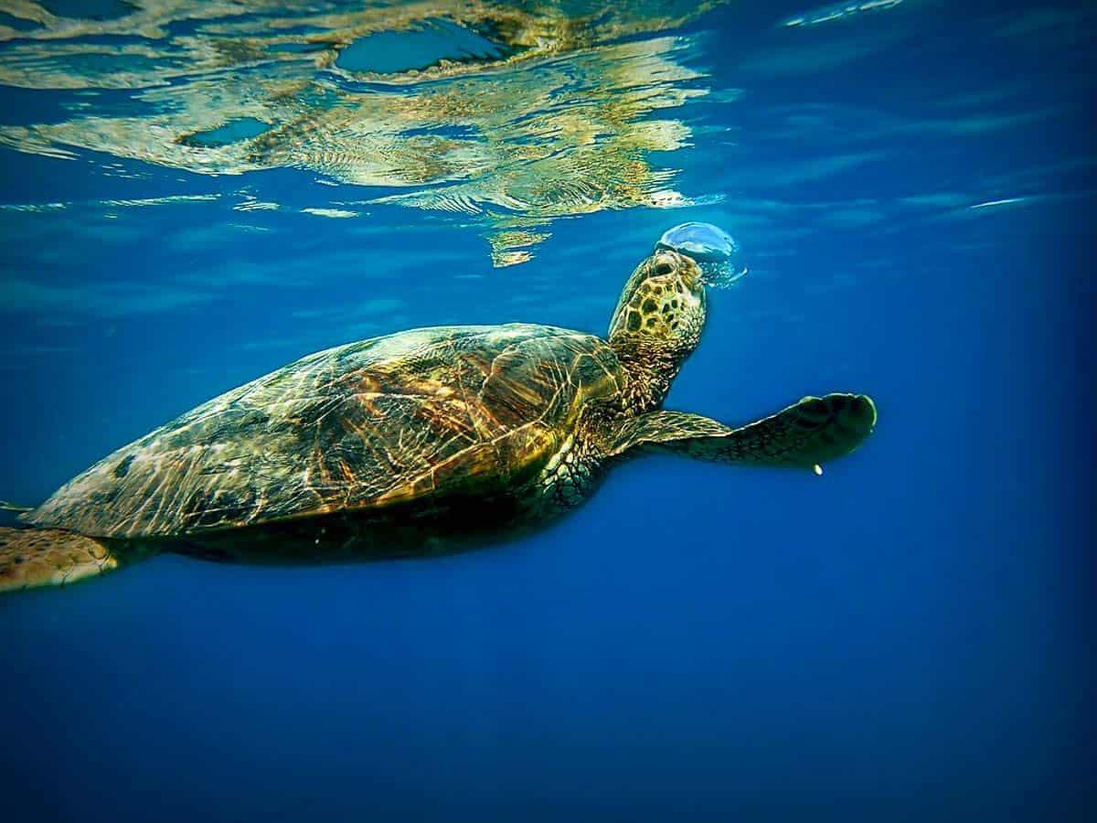 turtle snorkeling hawaii