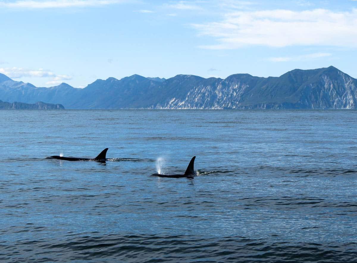 whales kill sharks