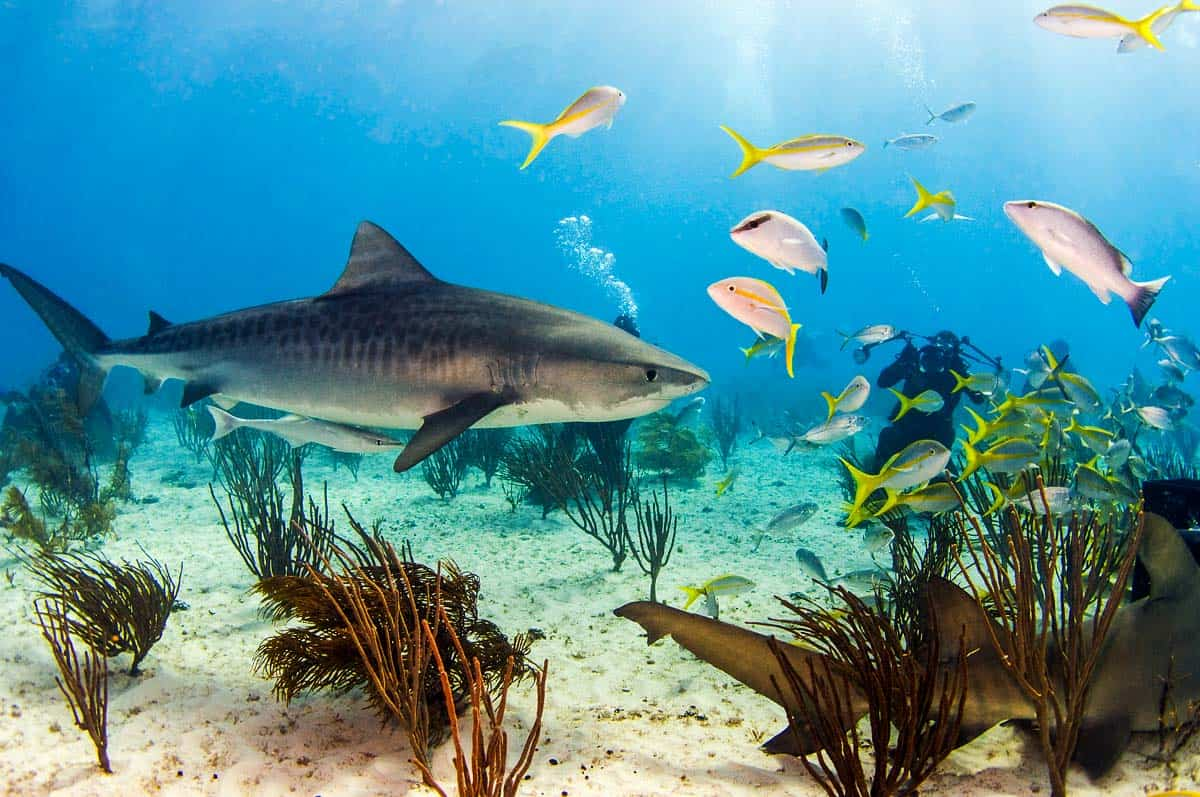 interesting facts about tiger sharks