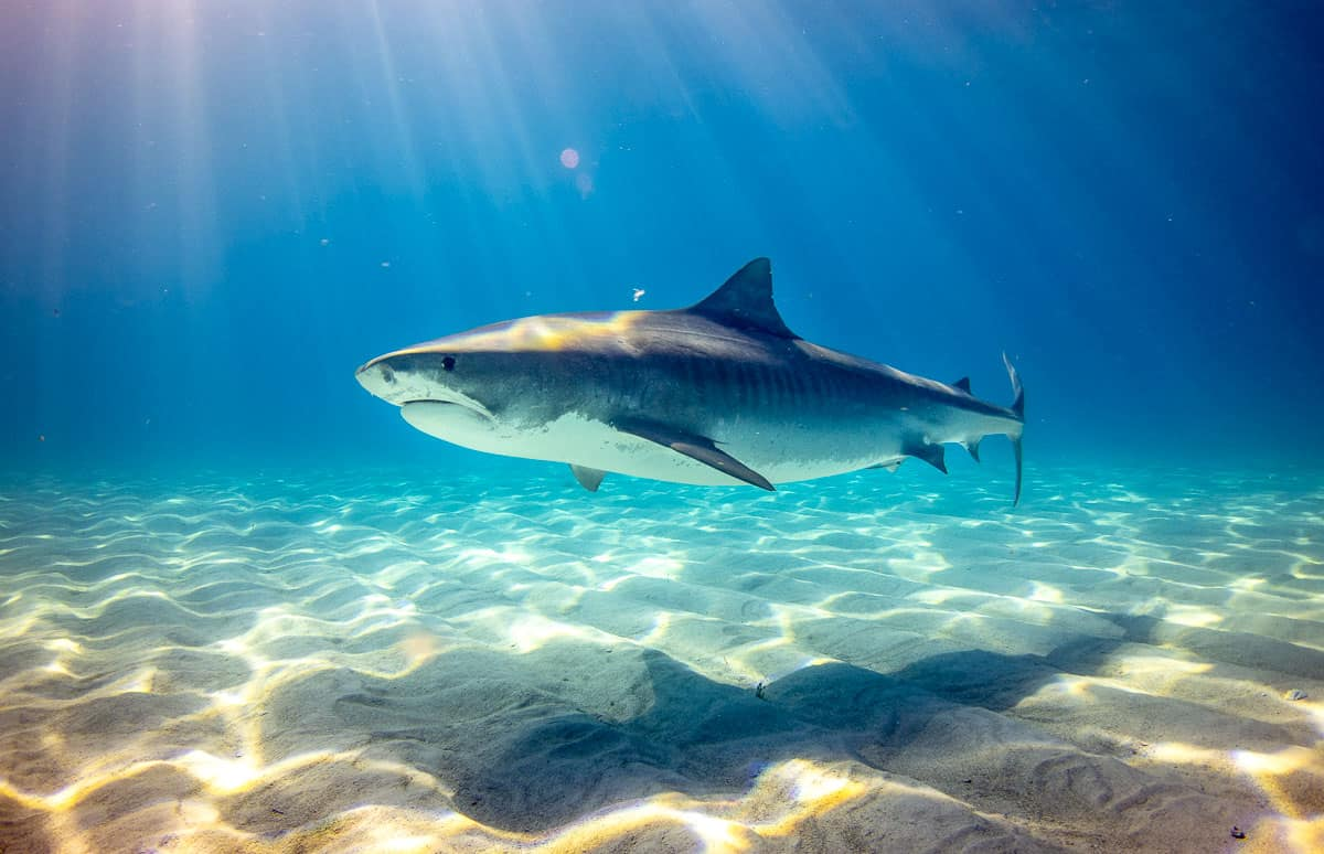 amazing tiger shark facts
