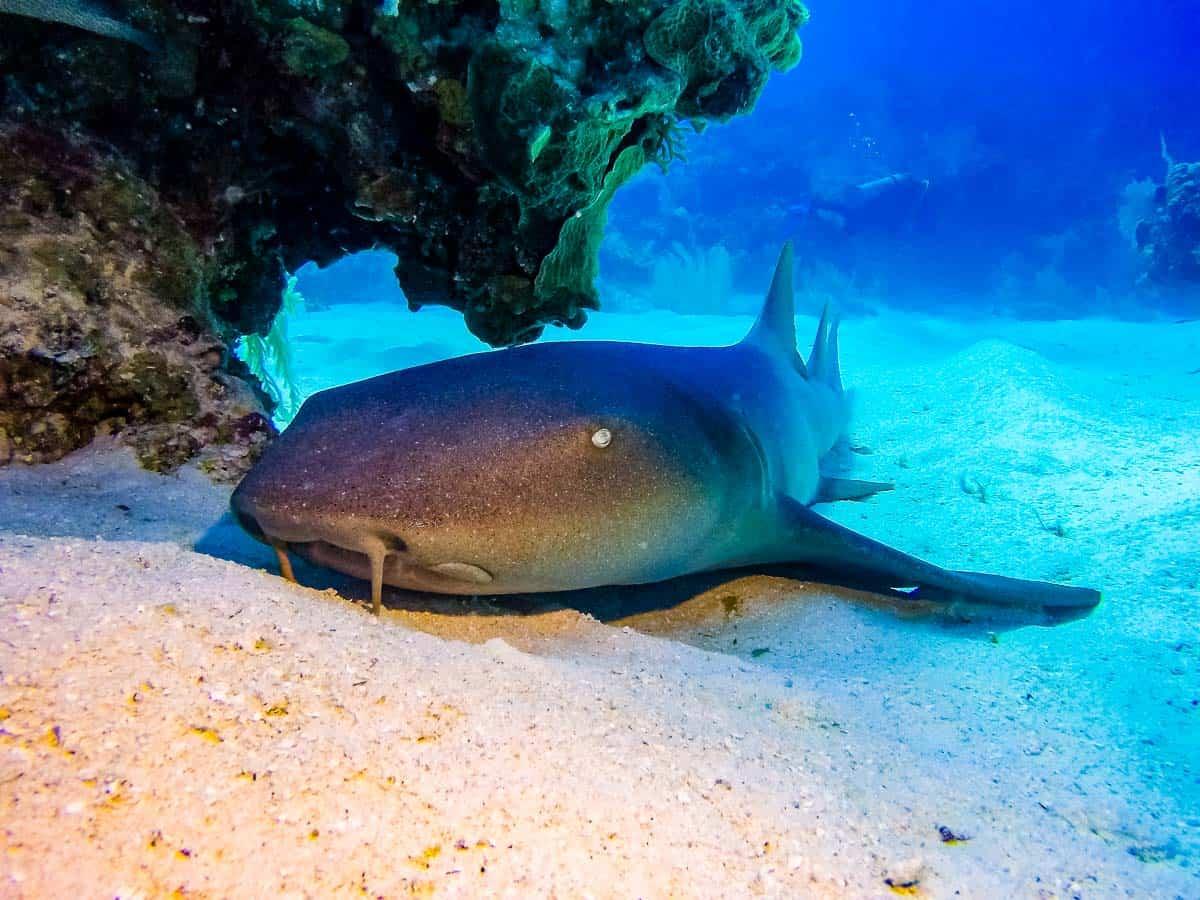 nurse shark pictures