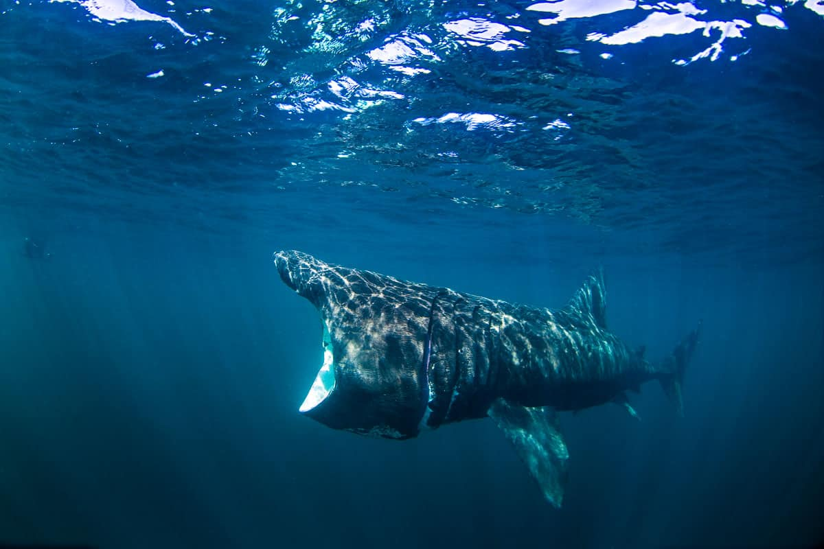 interesting facts about basking sharks