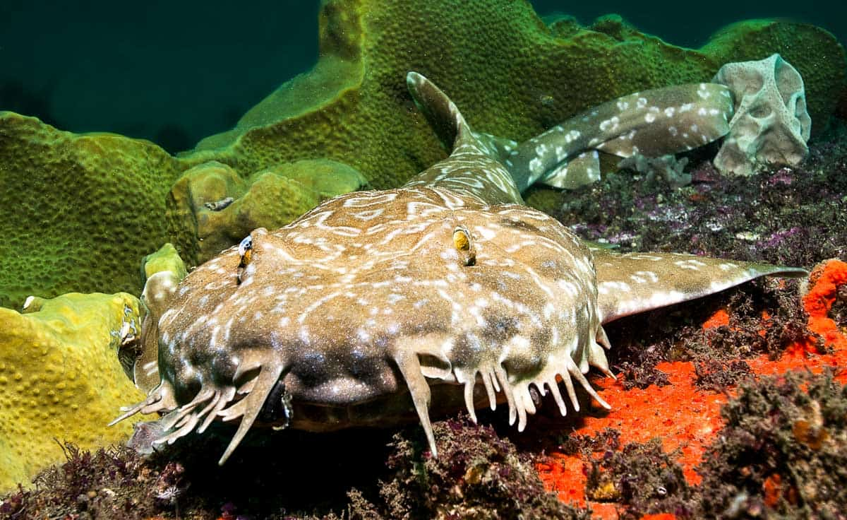 wobbegong shark facts