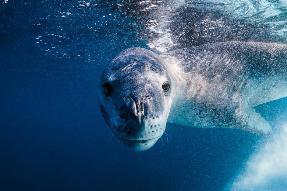 leopard seal hunting