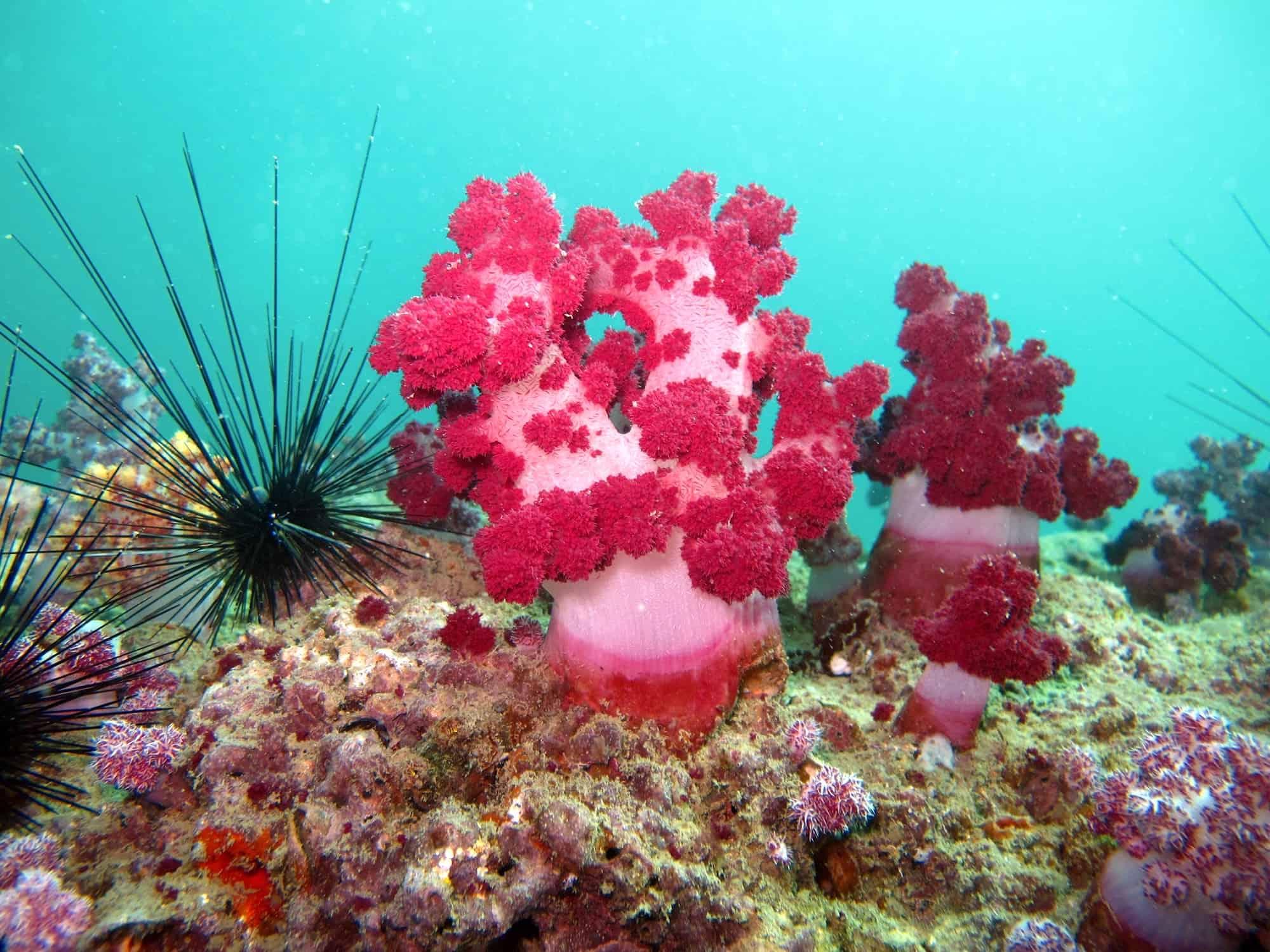 bright pink corals