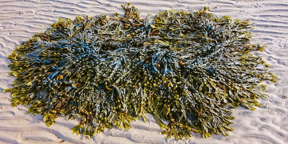 kelp collection on the beach