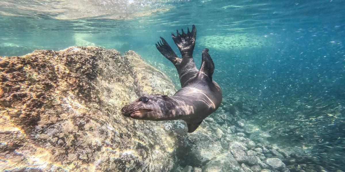 seal swimming in a clean ocean